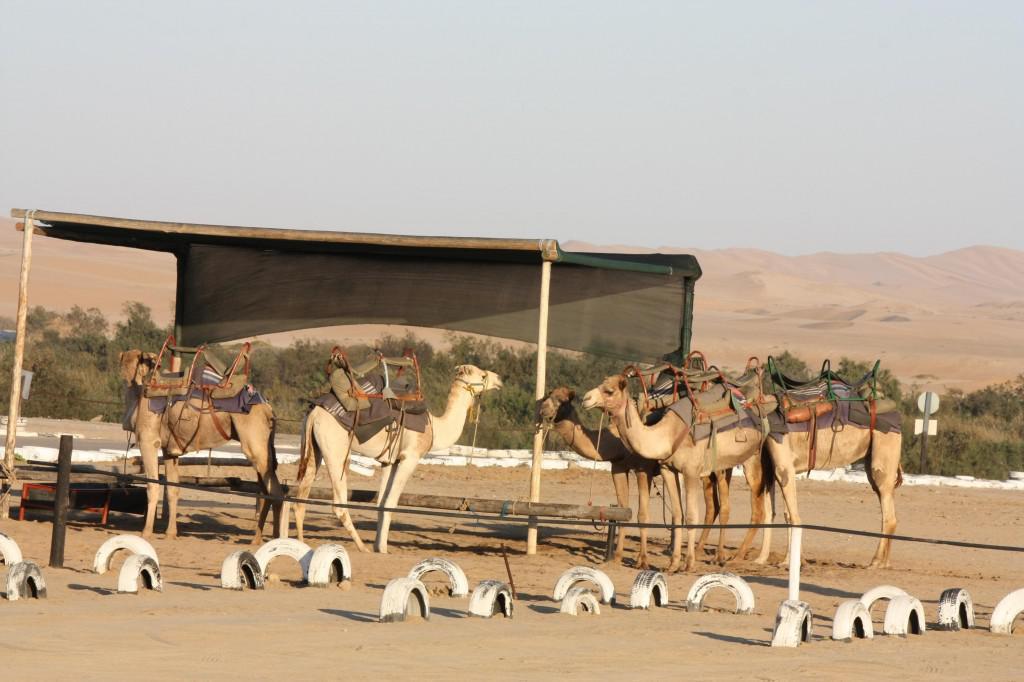 Camel rides (Copy)