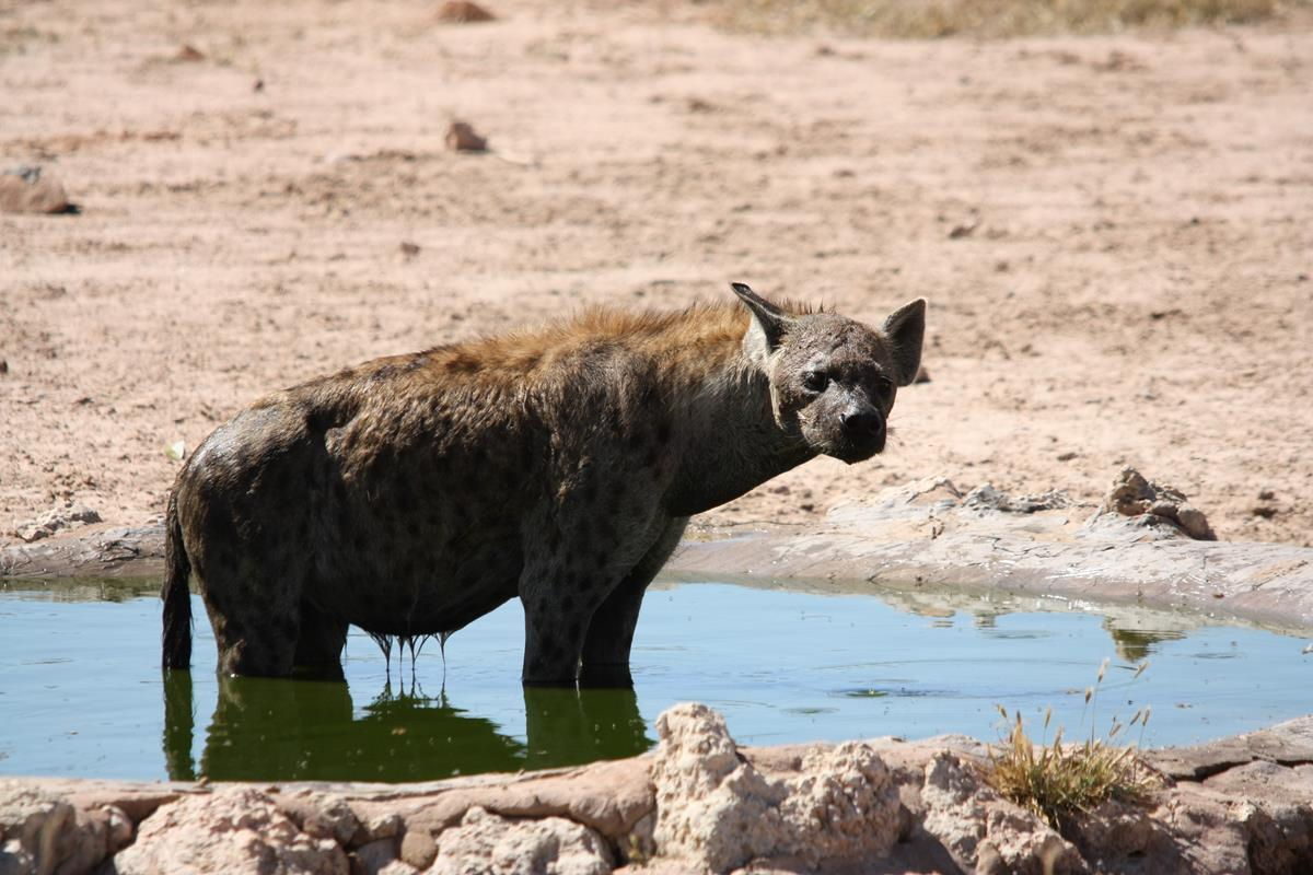 A hyena having a bath at Houmoed waterhole. (Photo: Karin Theron)