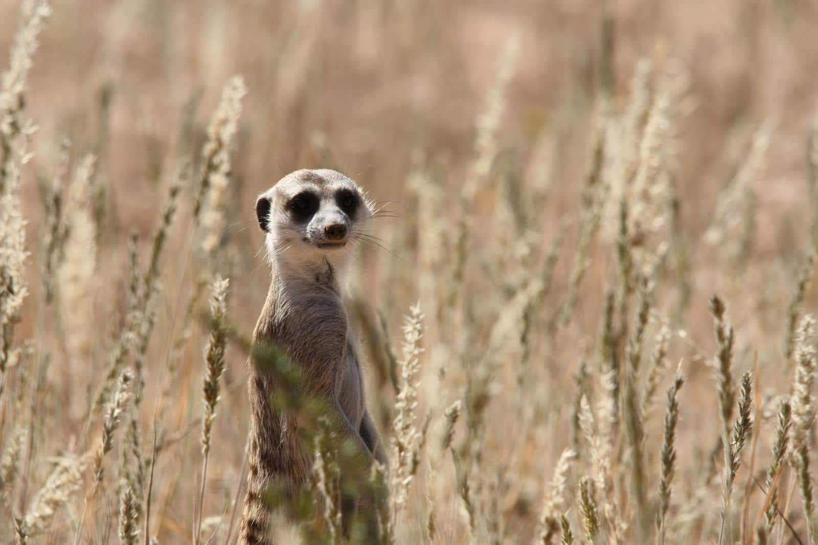 Cute little meerkats can also carry rabies. (Photo: Karin Theron)