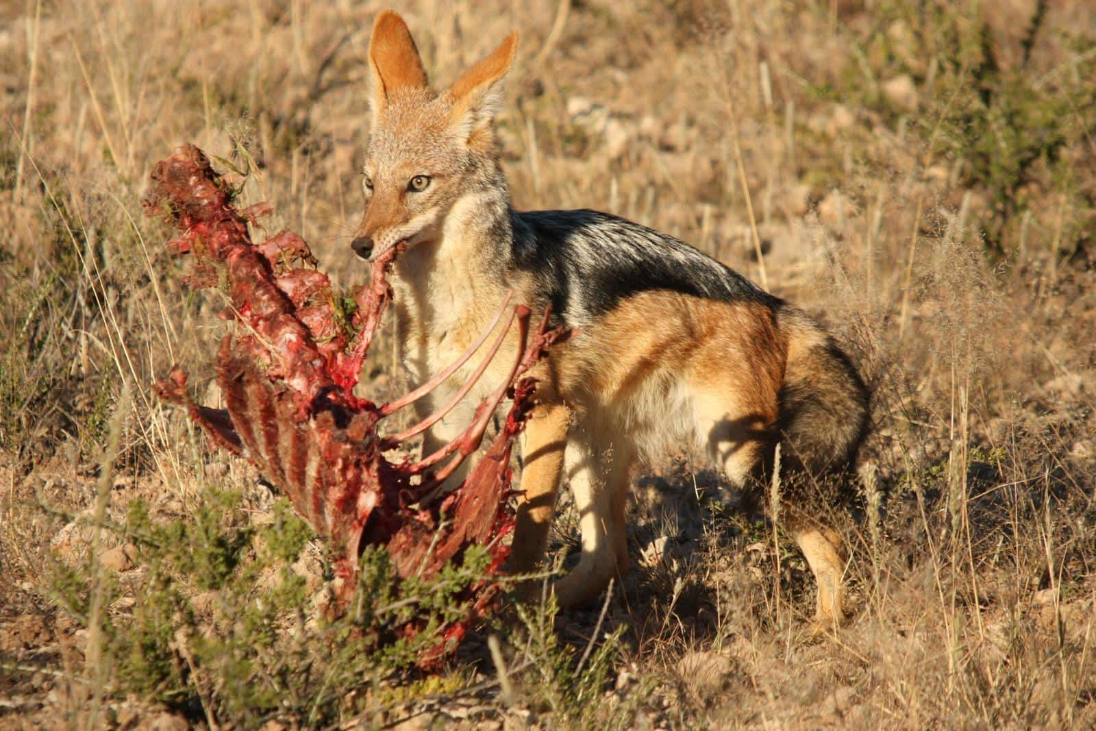 Black backed jackal in the Kgalagadi Transfrontier Park that straddles South Africa and Botswana. (Photo: Karin Theron)