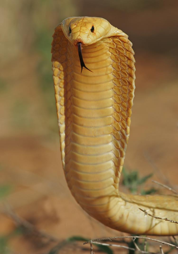The Cape Cobra is found in the Namib Desert, Kalahari Desert and South Africa.