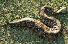 The Gaboon viper (Forest puff adder) is found in Zambia, Malawi, Zimbabwe, Mozambique and South Africa (northern Kwazulu-Natal).