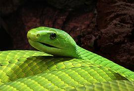 The Green mamba is found in Mozambique, Malawi, Eastern Zimbabwe, Eastern Zambia and South Africa.