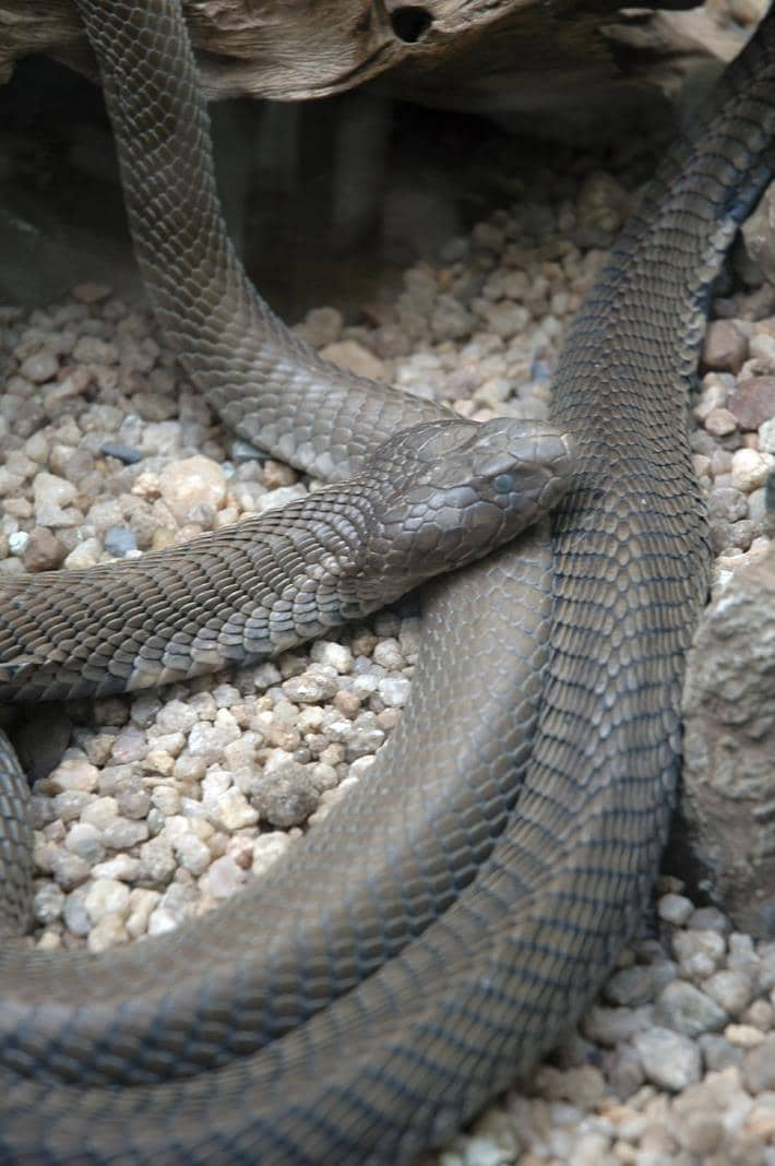 The Mozambique spitting cobra is found in South Africa (Natal and Mpumalanga) and northern Namibia.