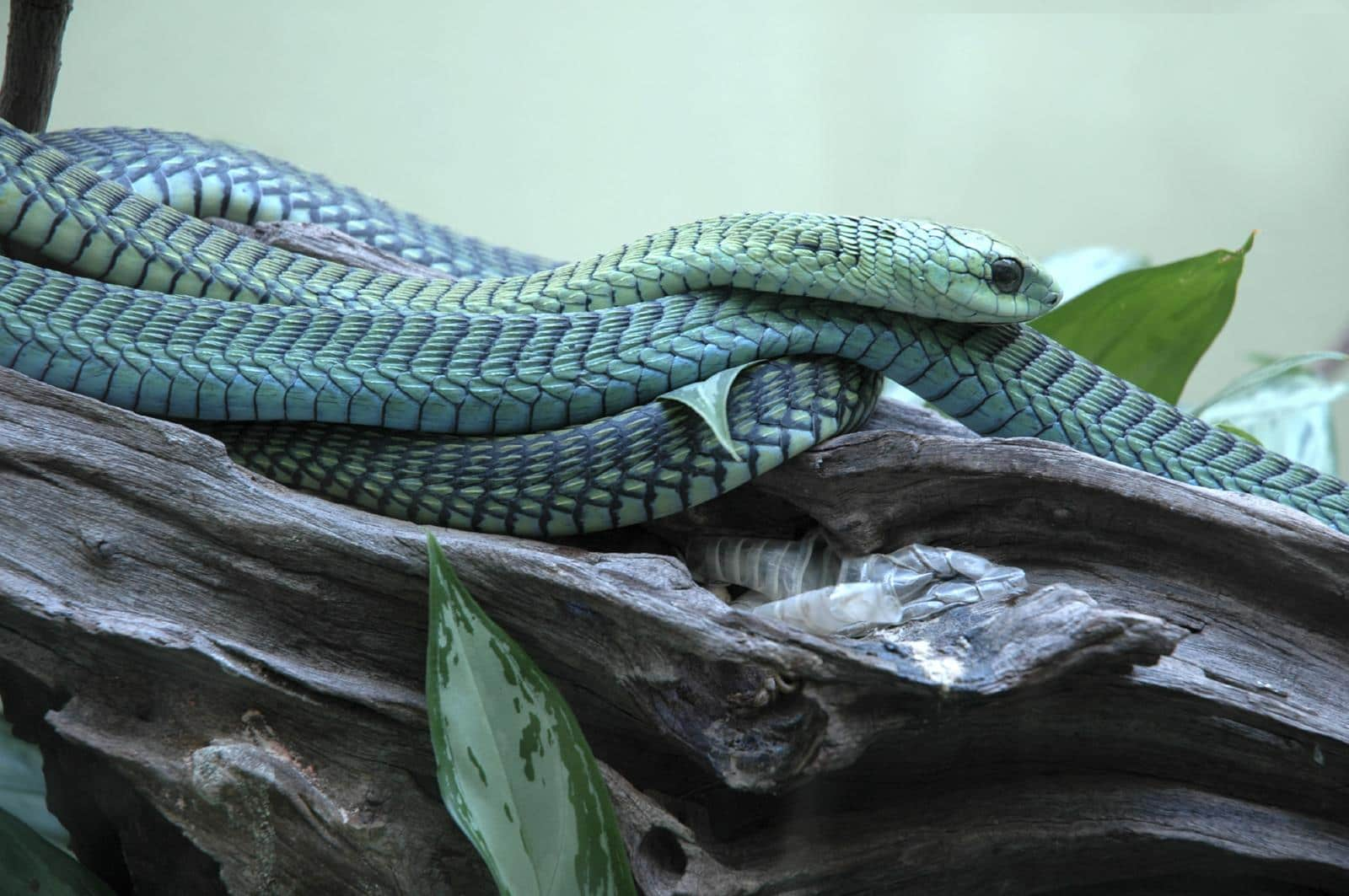 The Boomslang is found in South Africa, Swaziland, Southern Mozambique, Botswana and northern Namibia.