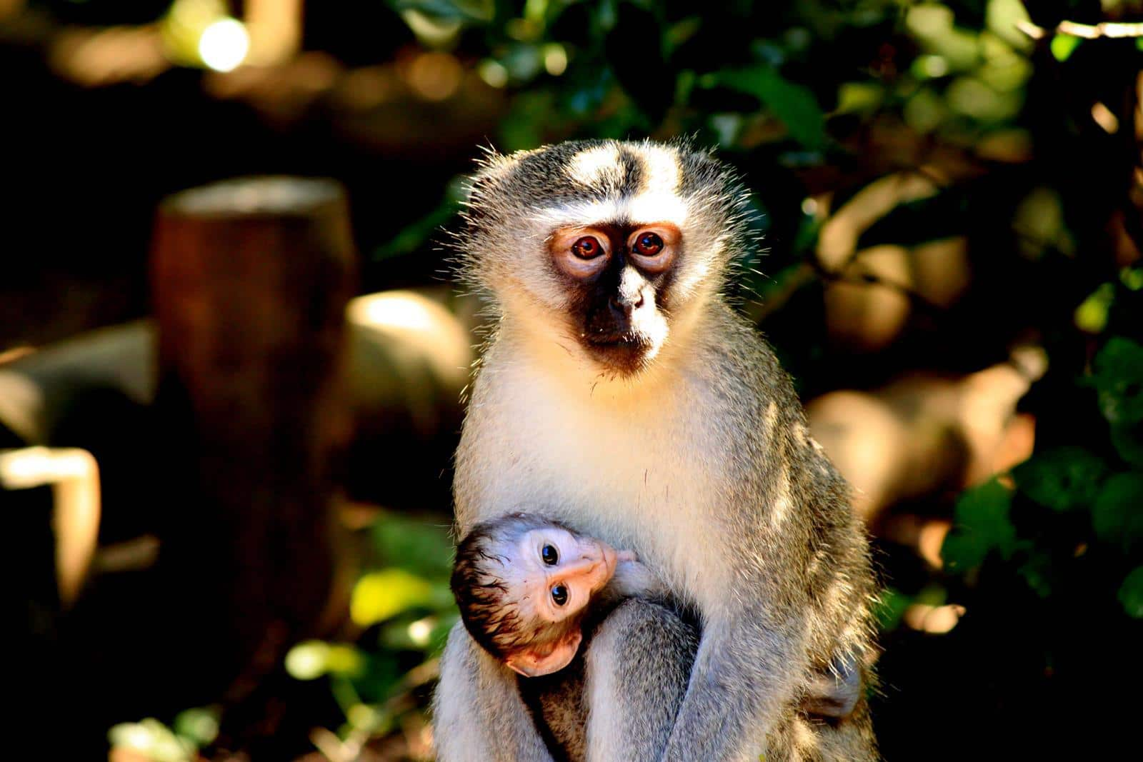 A vervet monkey mother carrying her baby.