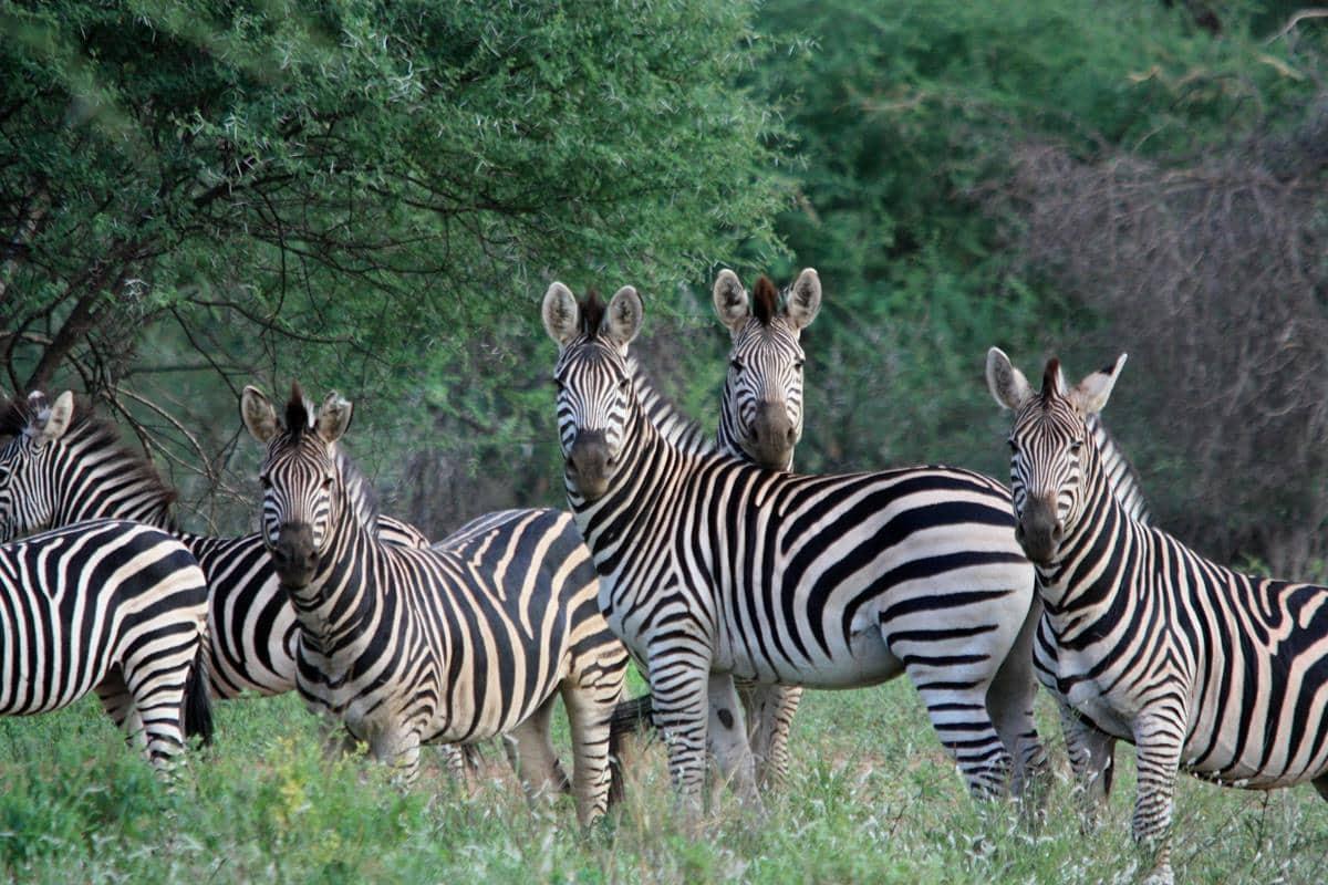 Zebra in the Save Conservancy.
