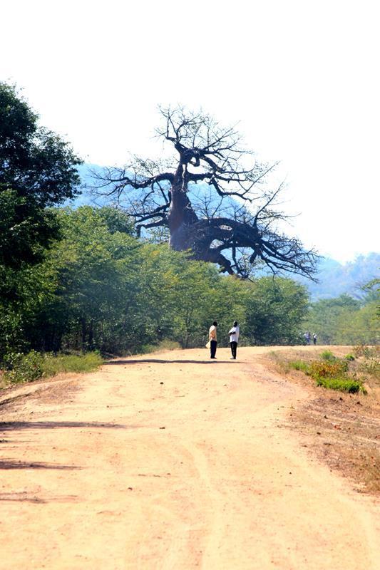 Baobabs dot the landscape of the Zambezi Valley.