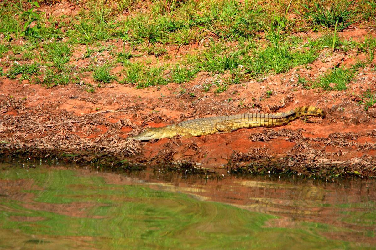 A juvenile crocodile basking in the sun.