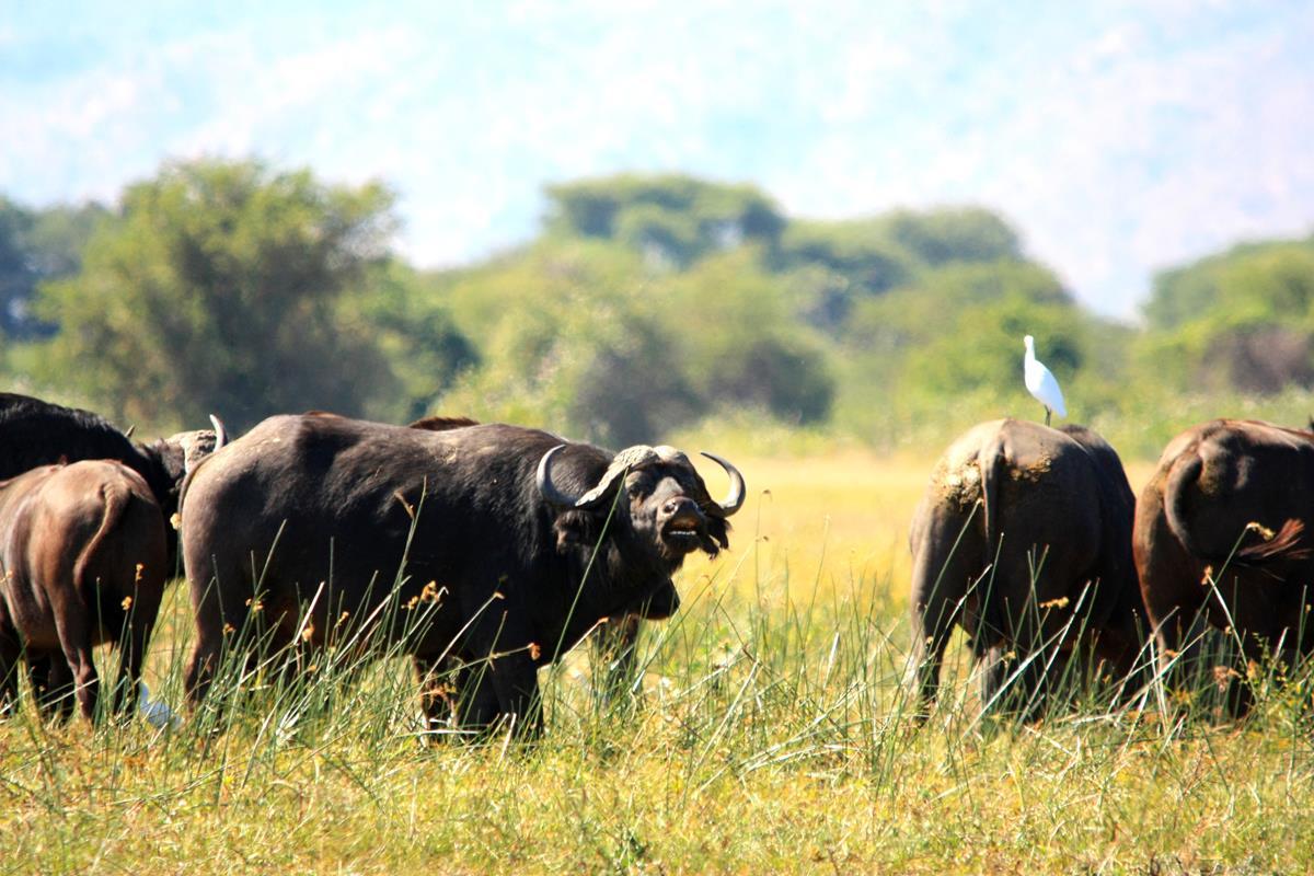 A big herd of buffalo on the floodplain of Lake Kariba.