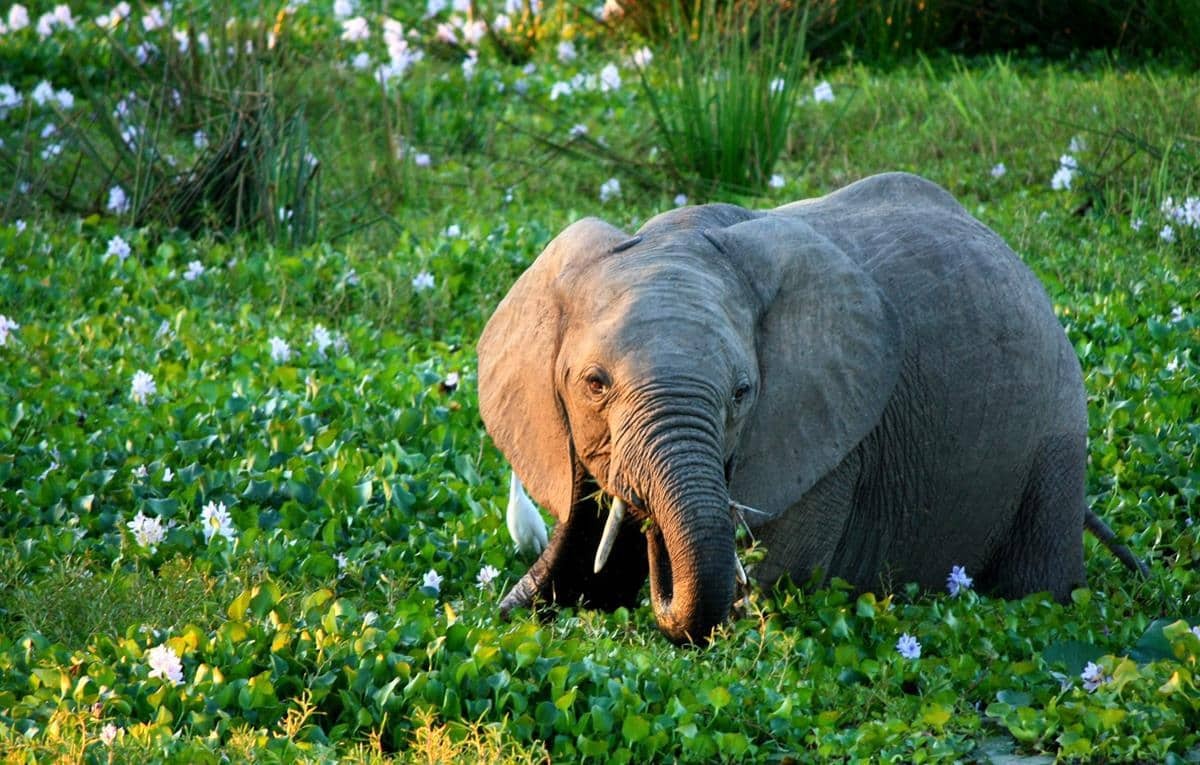 An elephant calf grazing in the flowering hyacinth.