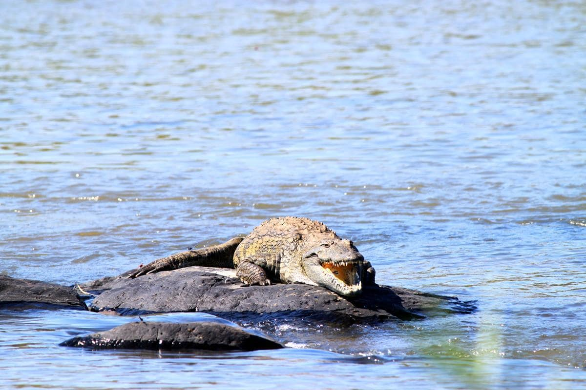 One lazy crocodile.