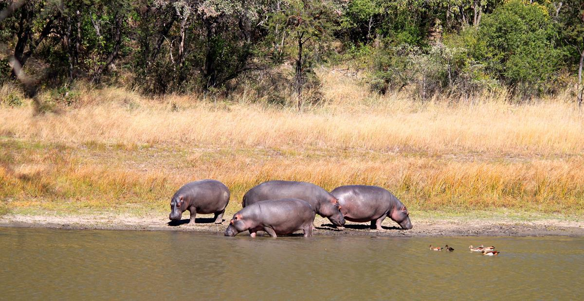 Our first proper hippo sighting of the trip.