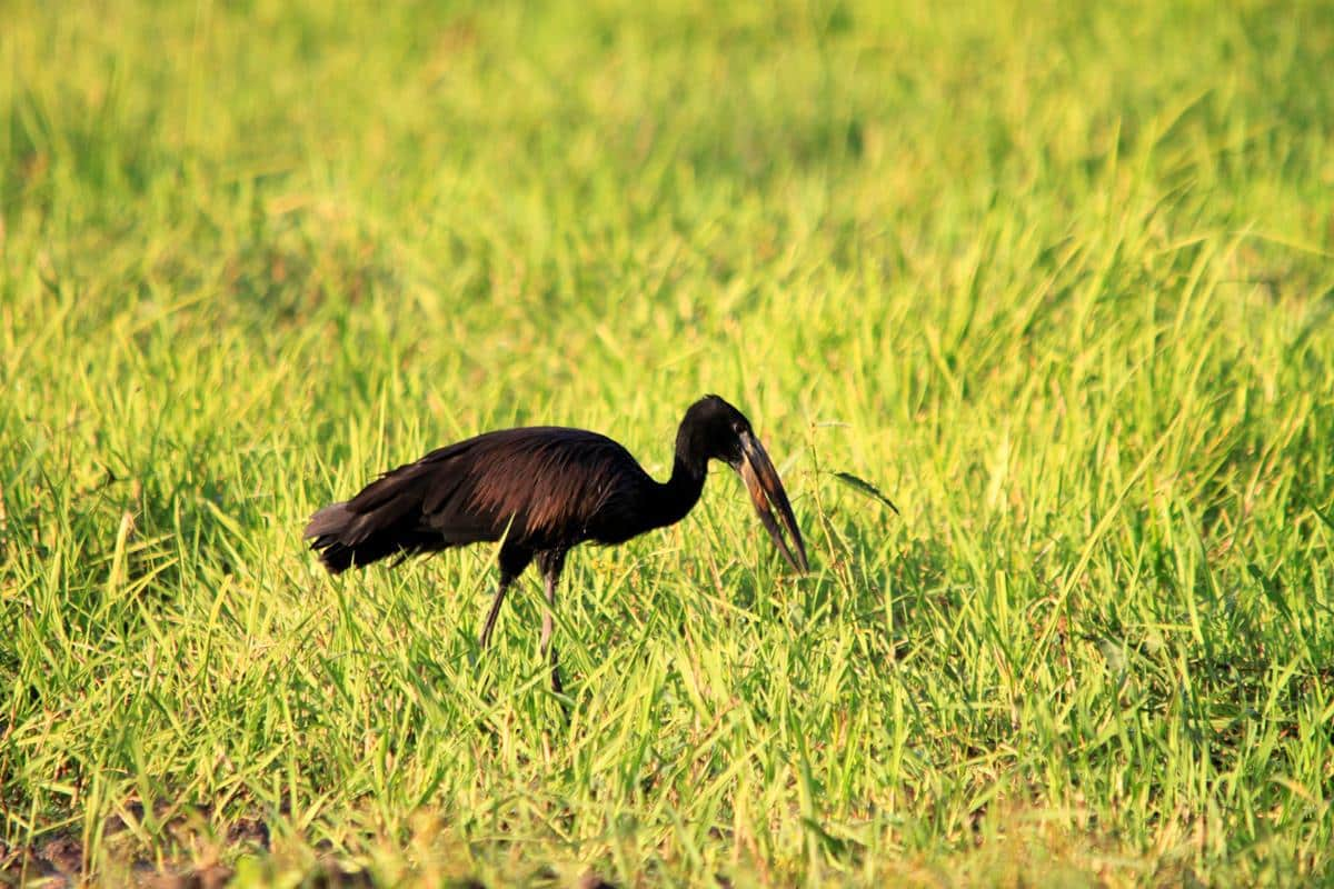 An openbilled stork feasting in the greens.
