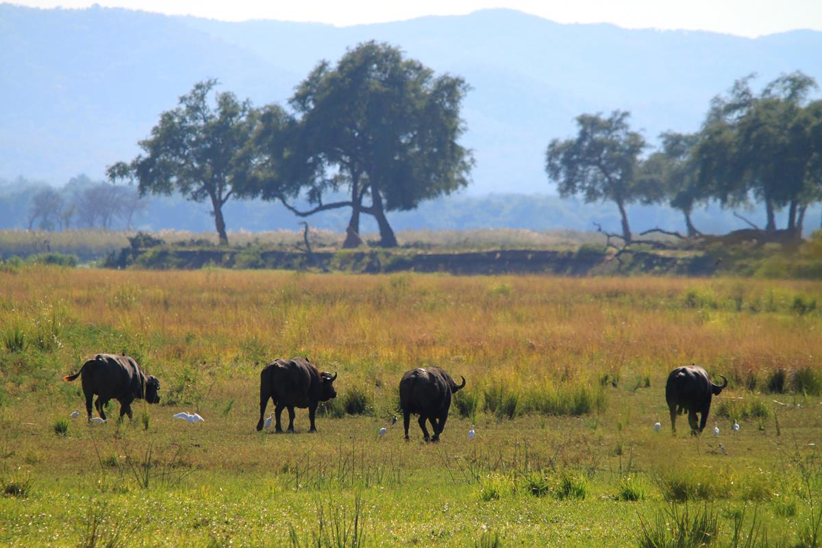 Buffalo grazing on the flood plains.