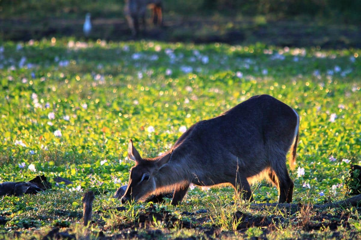 Waterbuck grazing on the greens.