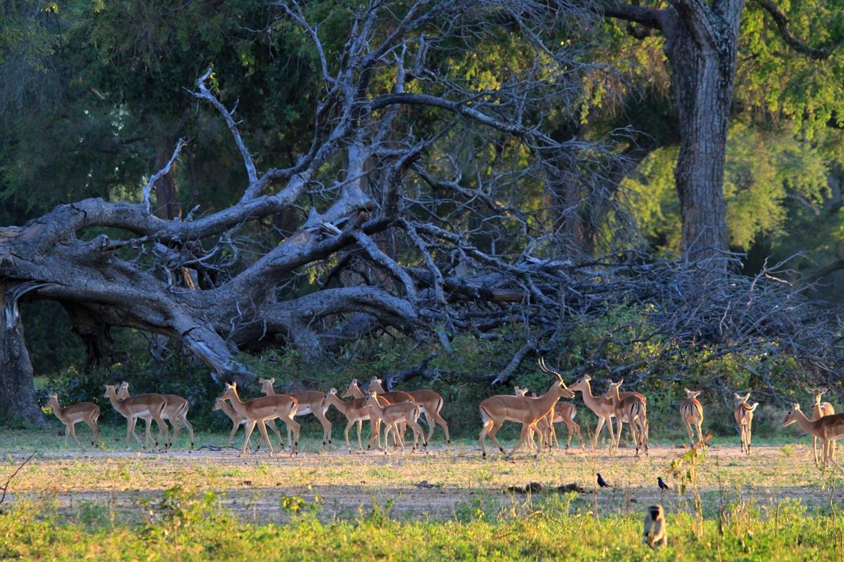 A nice herd of Impala.