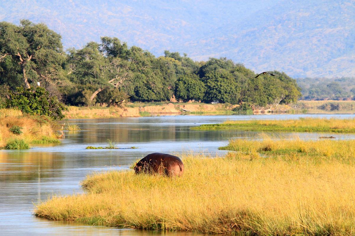 Hippo grazing on the bank of the Zambezi.