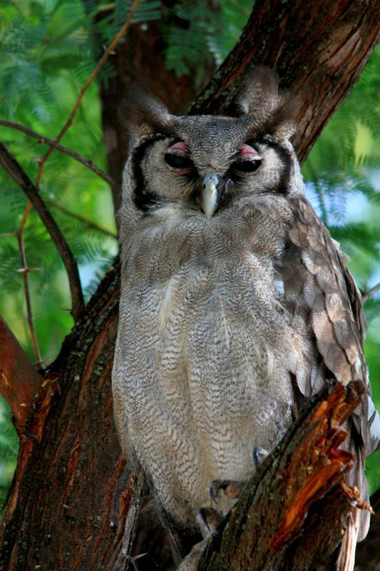 The Verreaux's Eagle Owl having has midday nap.