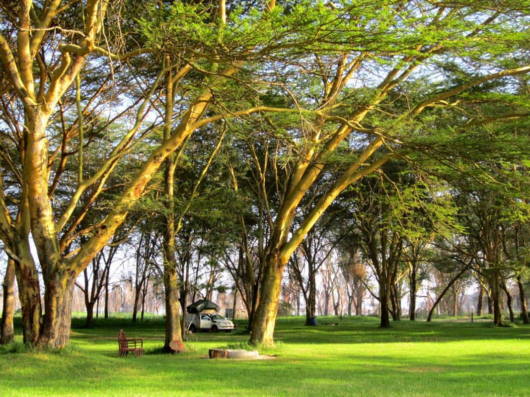 Camping under magnificent yellow fever trees at Lake Naivasha.