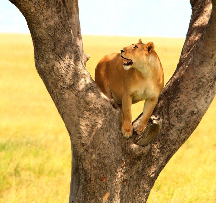 Lioness climbing into a tree.