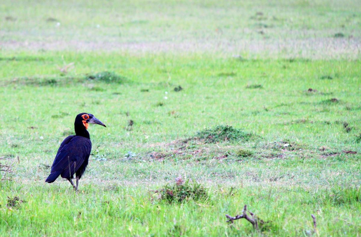 Ground hornbill.