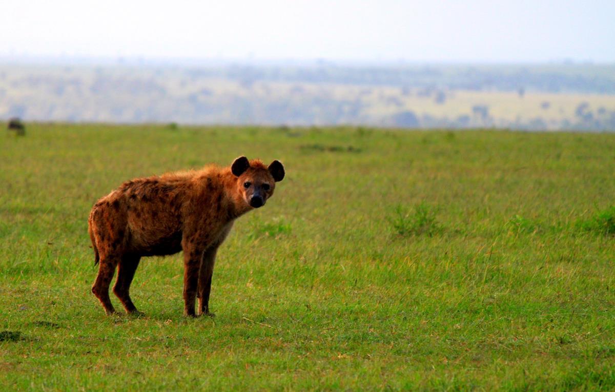 Scavenging hyena.