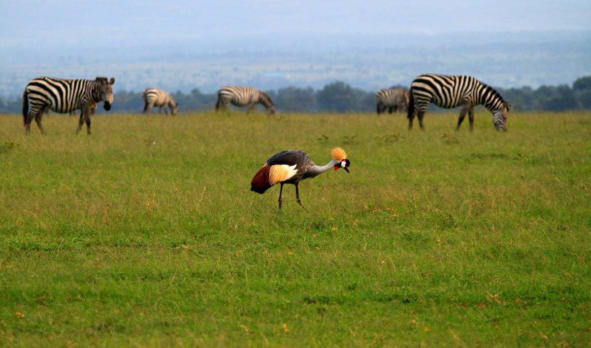 A Grey crowned crane with zebra grazing in the background.