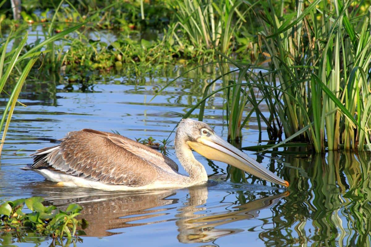 A young pelican floating past.