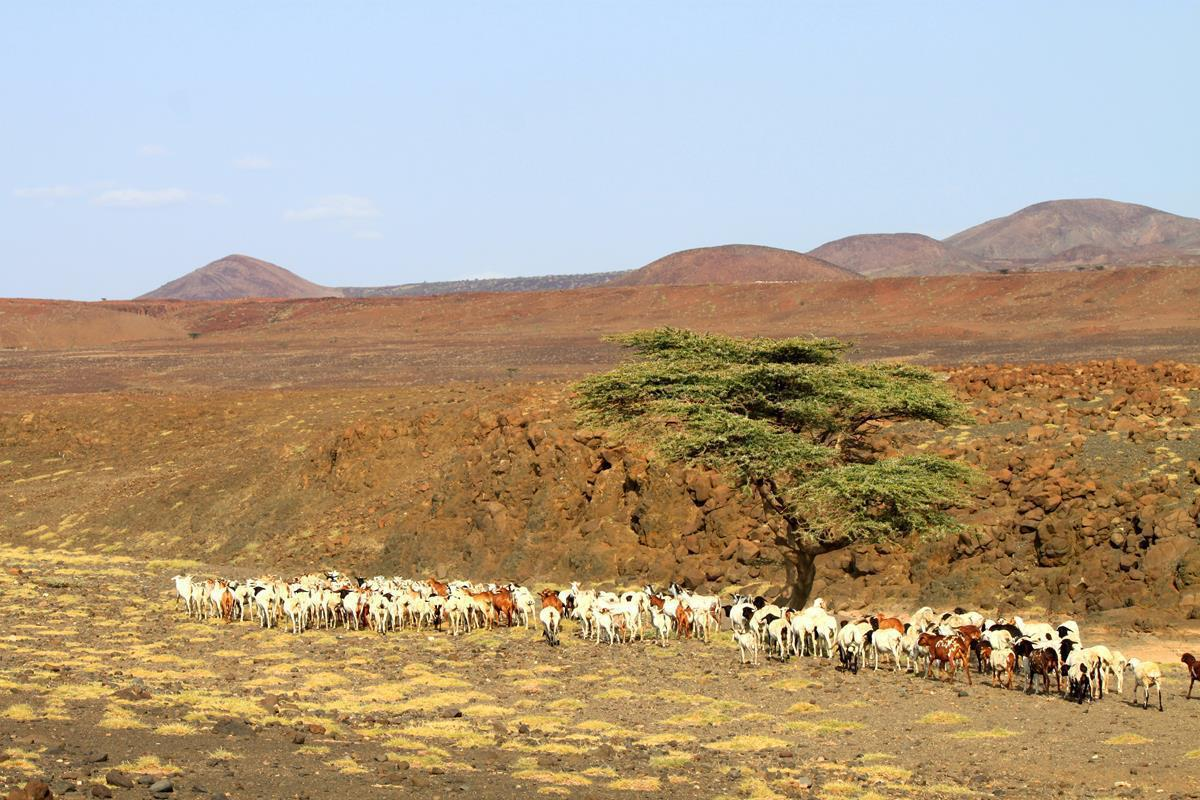 We have seen the biggest herds of livestock around Lake Turkana than anywhere in Kenia.