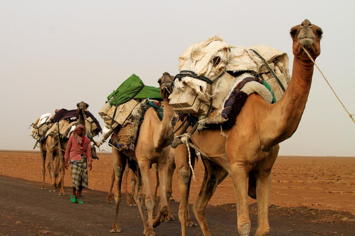 A small caravan of camels carrying salt block out of the Danakil.