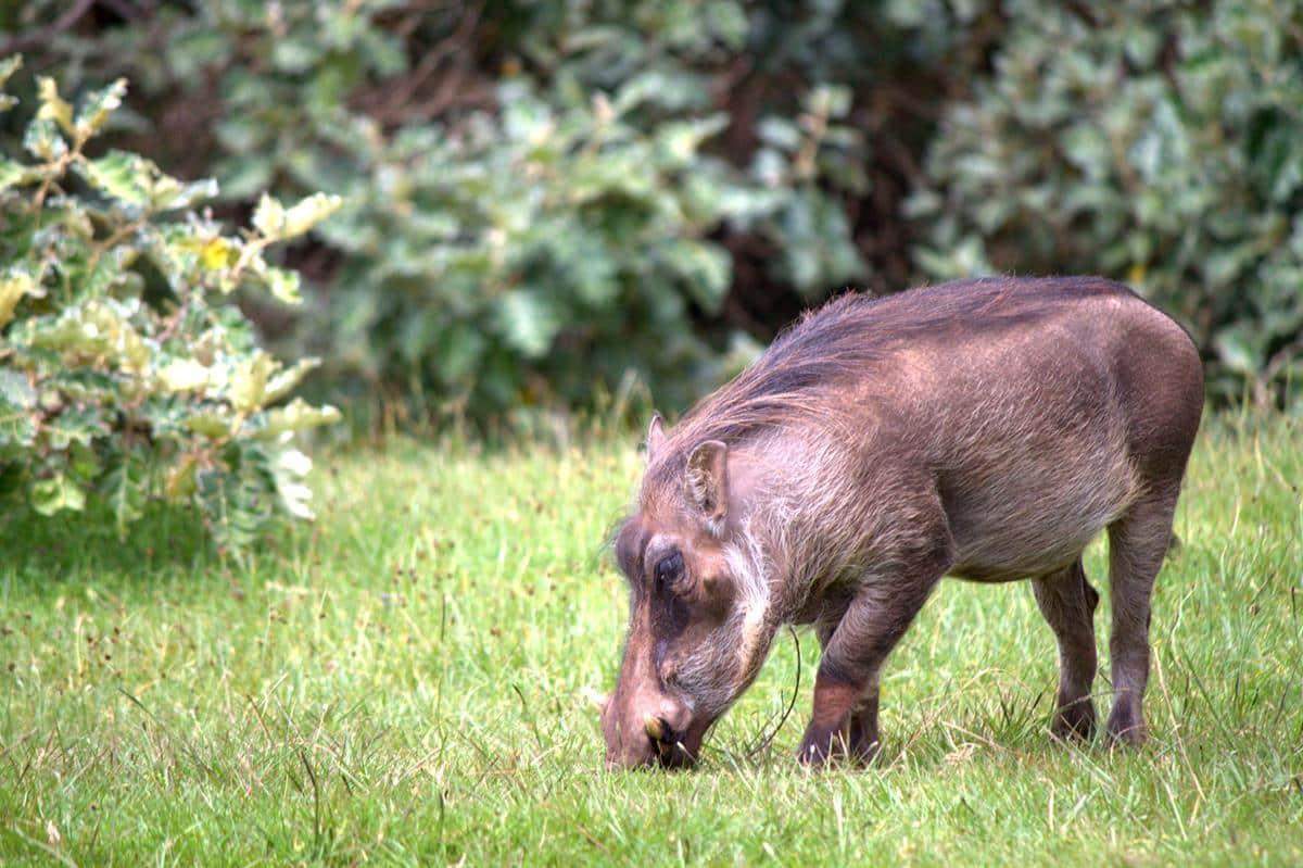 Warthog grazing around our camp.