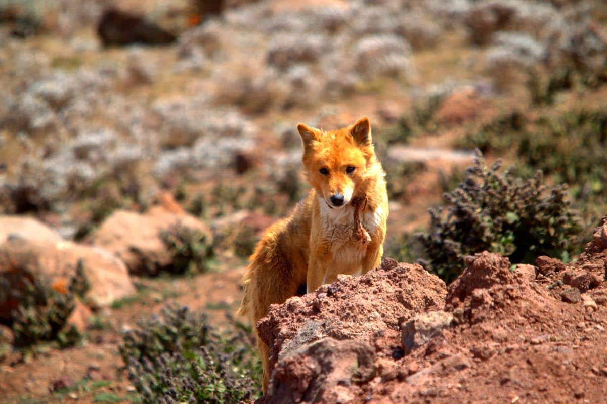 The Ethiopian wolf that turned out to be cattle herder's dog.