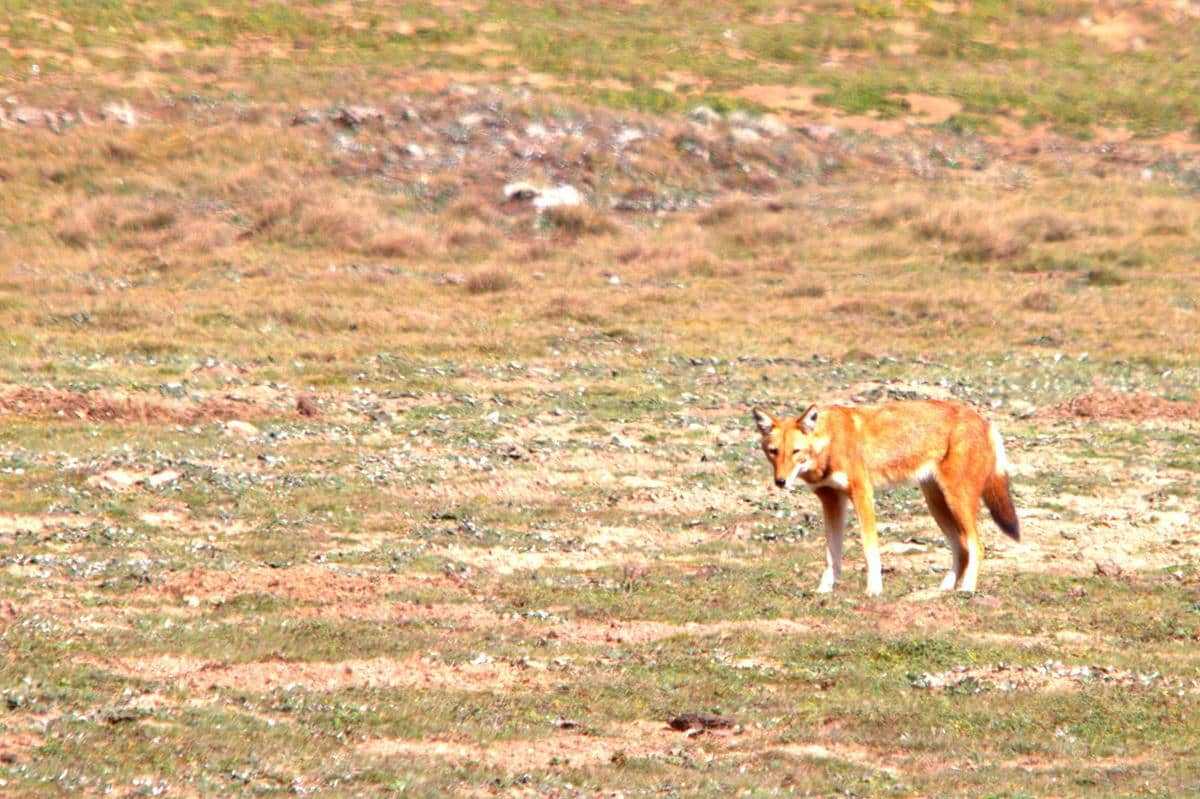 The real Ethiopian wolf.