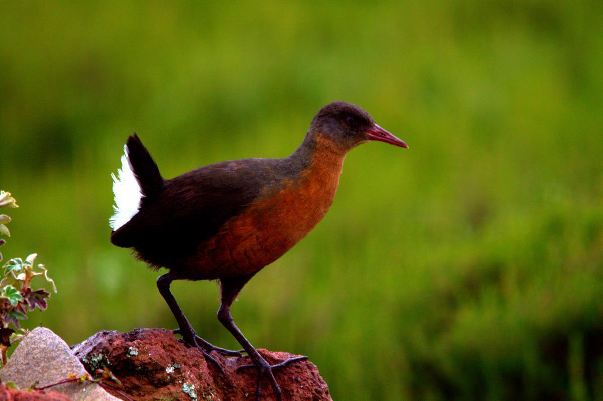 Rouget's Rail, spotted when driving out of the Bale Mountains, is endemic to Ethiopia and Eritrea.