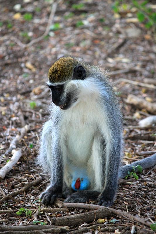A Grivet monkey.
