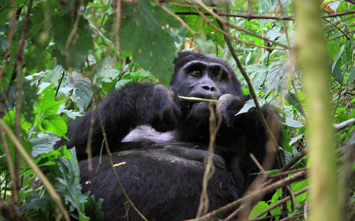 A Silverback lazily nibbling on the vegetation.