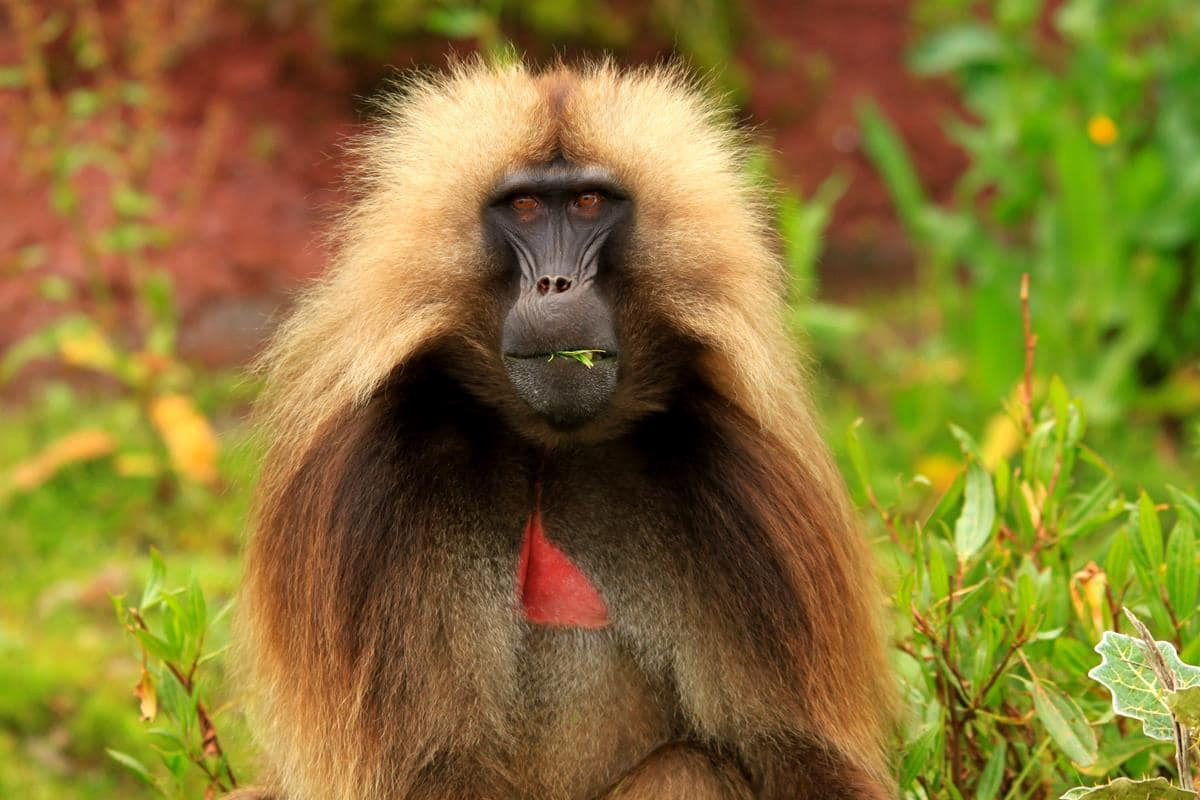 A colourful male gelada monkey.