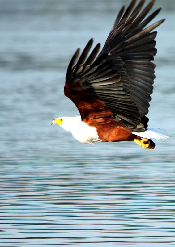 A fish eagle sweeping over the water.
