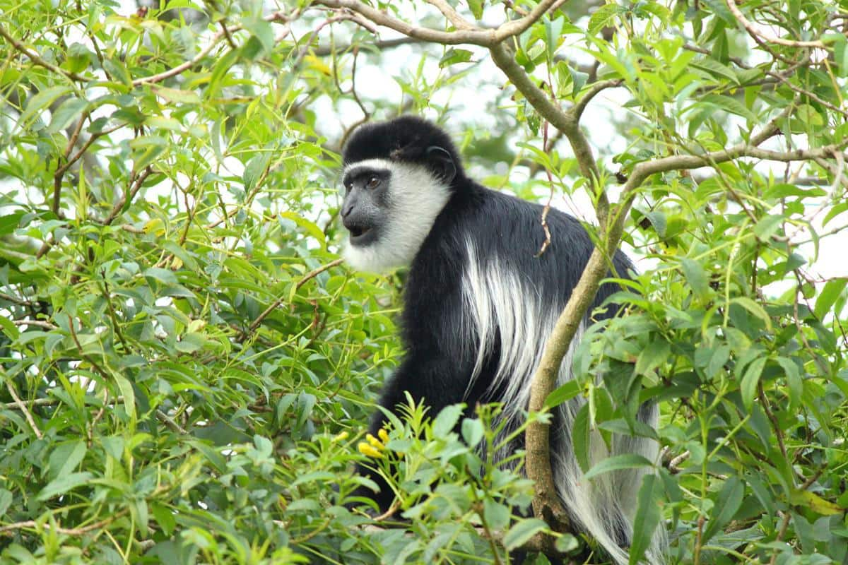 Guereza monkeys have long, white hair on their backs.