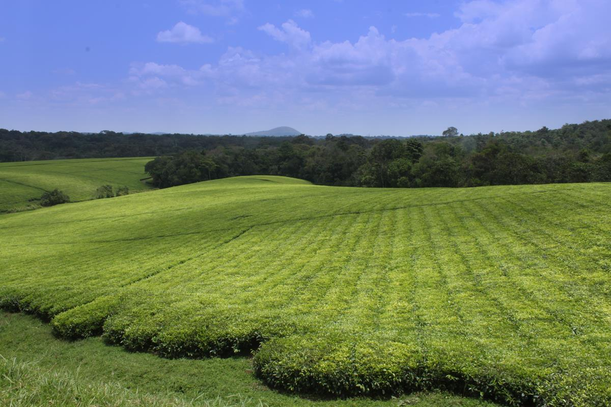 The bright green tea bushes of the Ankole Tea Estate.