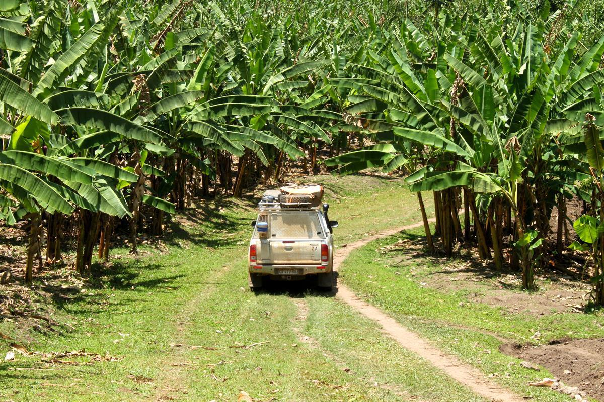 A footpath leading us through a banana plantation.