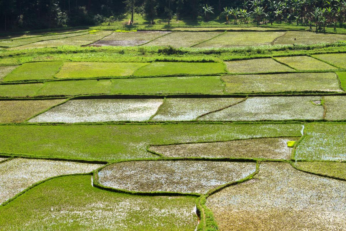 Rice paddies form a puzzle.