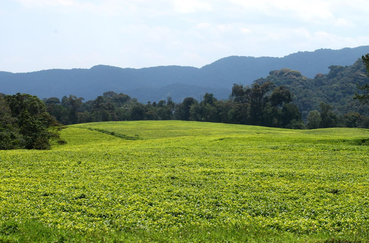 Tea plantations near Nyamasheke.