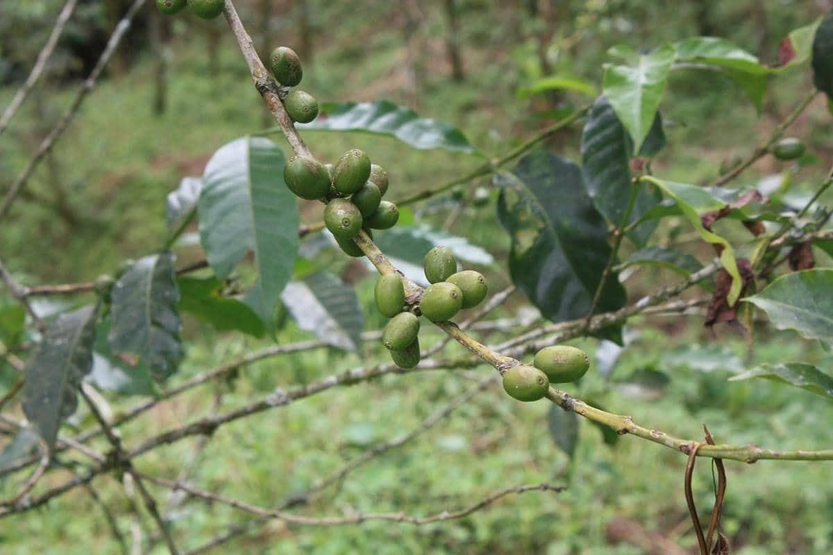 Coffee beans on the bush.
