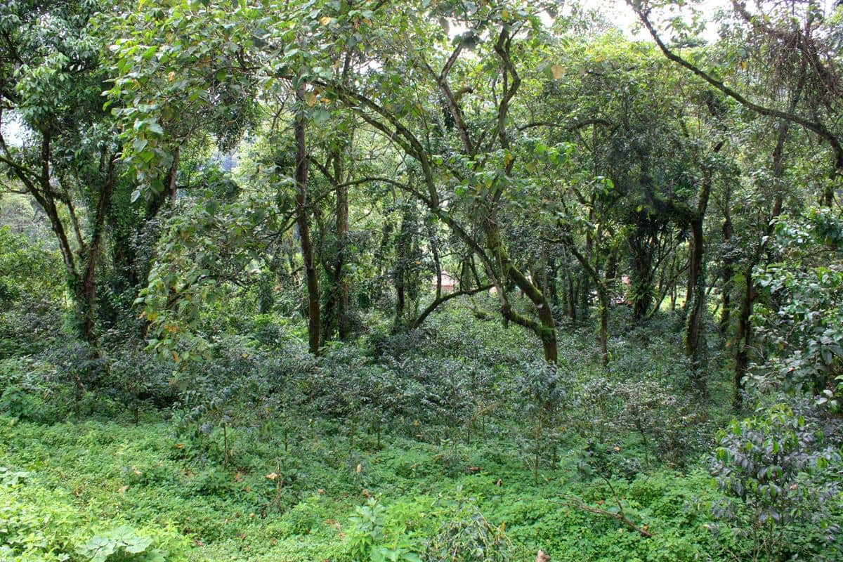 Wild coffee bushes grow in the forest.