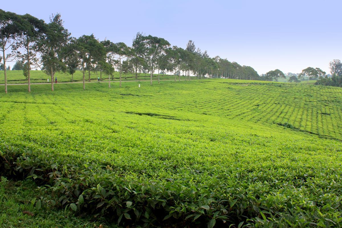 A neatly trimmed tea plantation.
