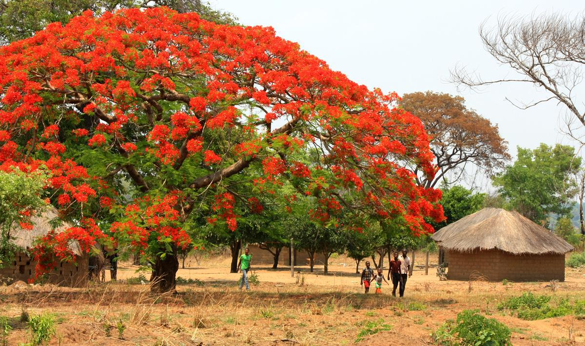 An impressive flamboyant tree just as we entered Loloma.