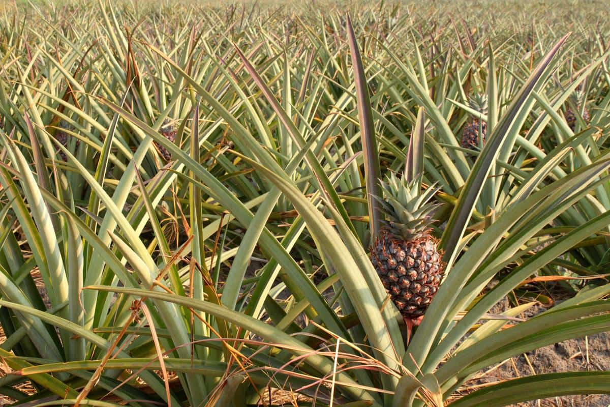 The north-west region of Zambia is pineapple country.