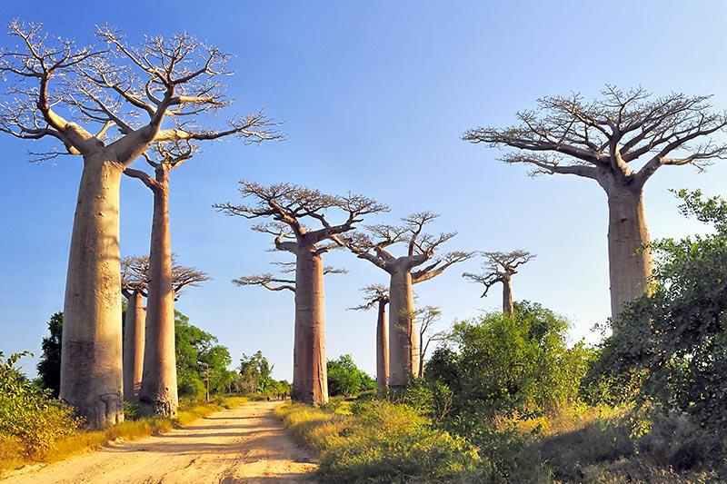 Avenue of the Baobabs.